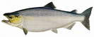chinook_salmon